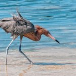 Karen Simmonds - Reddish Egret Hunting - HM - Digital Advanced Nature