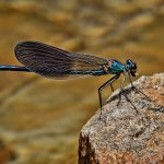 Tony Paine - Dragonfly - HM - Advanced Nature