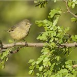 Raymond Hsu - Orange-Crowned Warbler - 1st - Digital Advanced Nature
