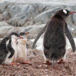 Karen Simmonds - Penguin Family - HM - Digital Advanced Pictorial