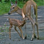 Bruce Peters - Wild Doe Nursing Her Fawn - 1st - Digital Intermediate Nature