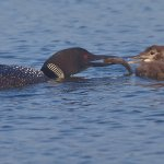 Ron Manning - Loon Feeding Chick - 3rd - Digital Advanced Nature