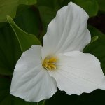 Jennifer Fowler - White Trillium - 2nd - Digital Intermediate Nature