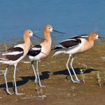 Sandra Hawkins - American Avocets - HM - Digital Advanced Nature
