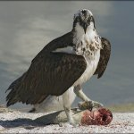 Leonie Holmes - Osprey With Catch - 3rd - Level 2 Pictorial