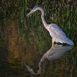 Stephen Balke - Great Blue Heron Hunting - 2nd - Digital Beginner Nature