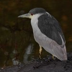 Rainer Rothfuss - Black-Crowned Night Heron - 2nd - Digital Intermediate Nature