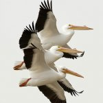 Raymond Hsu - American White Pelican - HM - Digital Advanced Nature