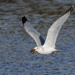 Fred Dixon - Gull With Lunch - HM - Digital Advanced Nature