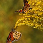 Robbie Robinson - Monarch Butterflies Feeding Before Migration - HM - Digital Intermediate Nature