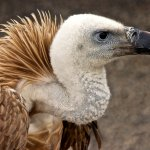 Ursula Tweddle - Griffon Vulture - HM - Digital Advanced Nature